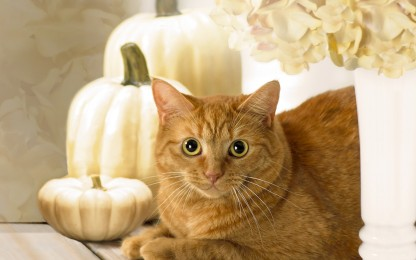 Caramel Ginger Golden Cat Hydrangea Flower Pumpkin Autumn Kitty Picture White Background